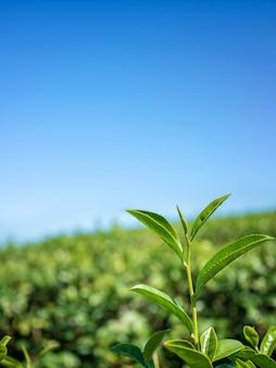 Folhas de chá verde do close up no fundo da plantação de chá.