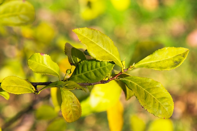Folhas de chá verde em um galho, fundo desfocado. folha jovem de chá na plantação, início da primavera na china
