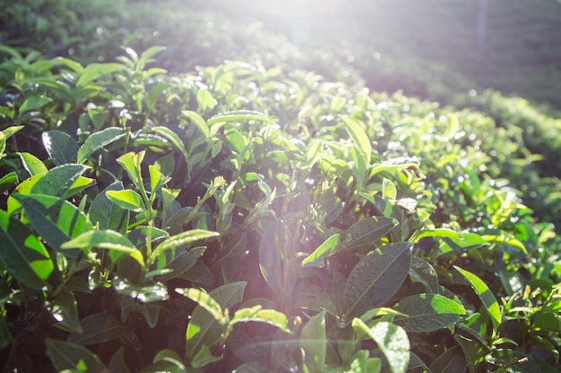 Folhas de chá verde em uma plantação de chá na manhã. folhas de chá verde closeup