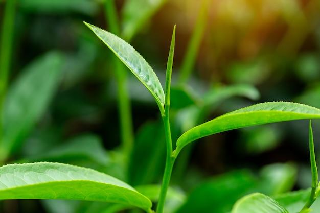 Folhas de chá verde em uma plantação de chá na manhã