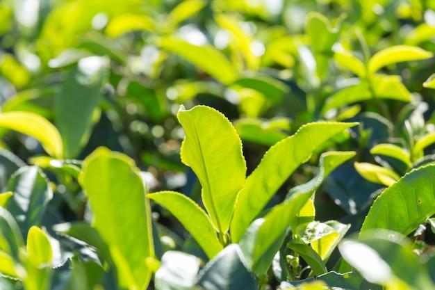Folhas de chá verde em uma plantação de chá