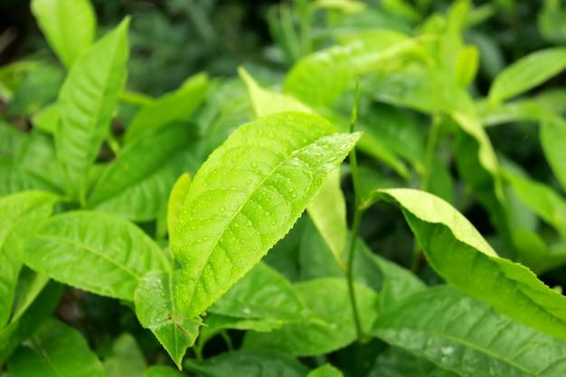 Folhas de chá verde fresco