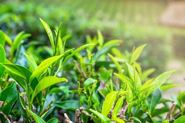 Folhas de chá verde fresco.