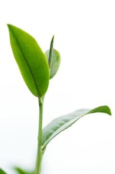 Folhas de chá verde isoladas no fundo branco.