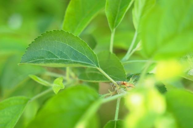 Folhas de chá verde.