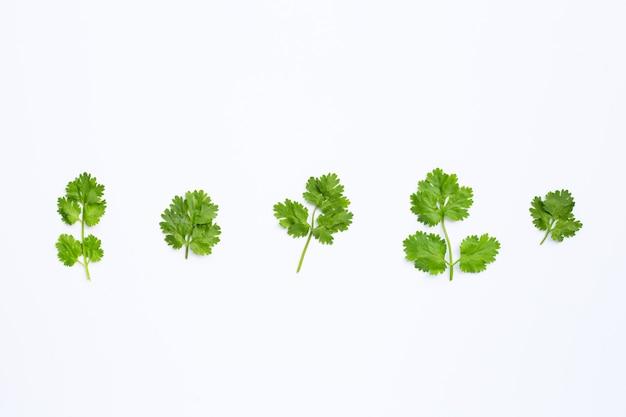 Folhas de coentro frescas