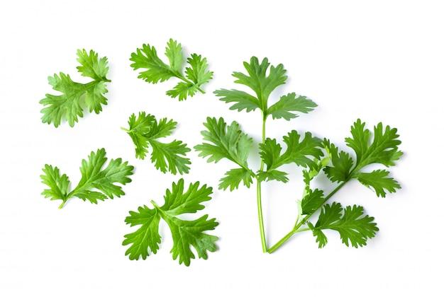 Folhas de coentro verde em uma parede branca.