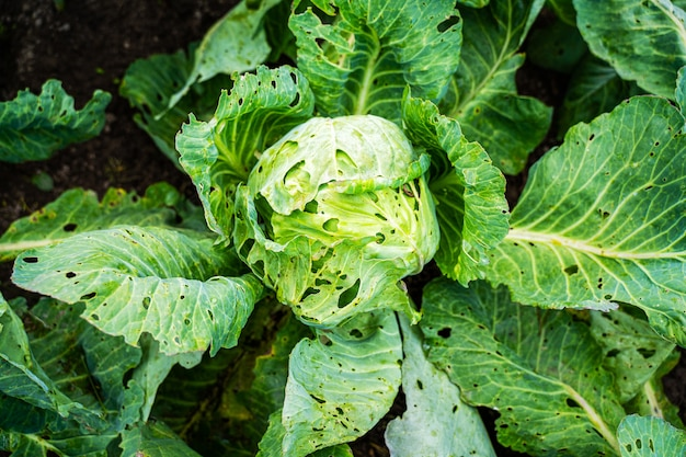 Folhas de couve cozida são danificadas por parasitas. colheita destruição por verme de repolho repolho
