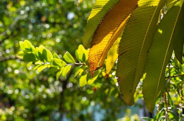 Folhas de dillenia indica, foco selecionado, comumente conhecido como maçã-elefante