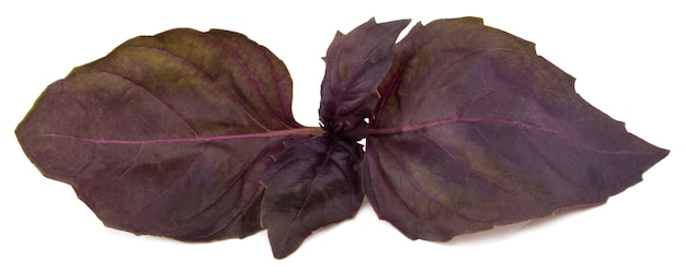 Folhas de erva de manjericão vermelho fresco.