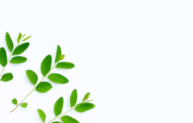 Folhas de eucalipto em fundo branco com espaço de cópia