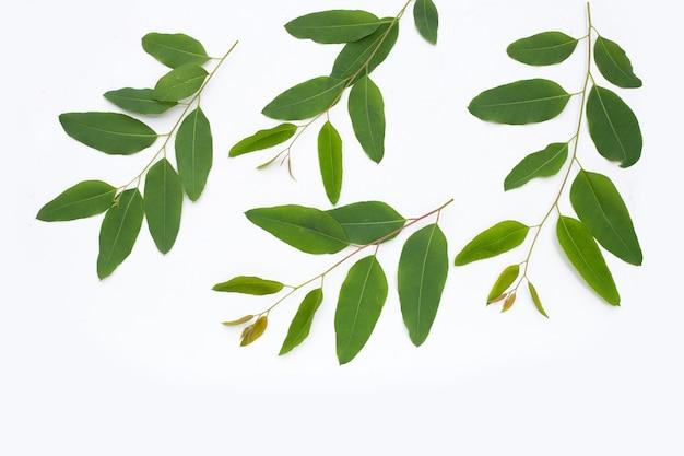 Folhas de eucalipto em fundo branco.