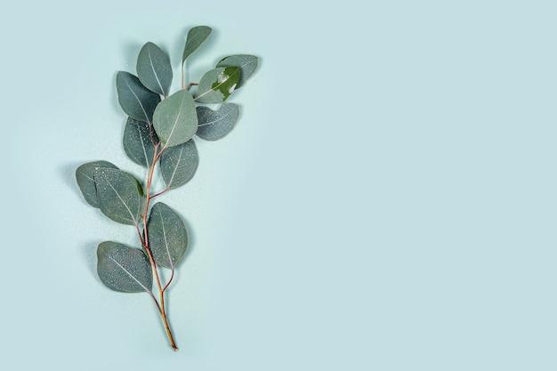 Folhas de eucalipto natural com gotas de água sobre fundo verde pastel de hortelã