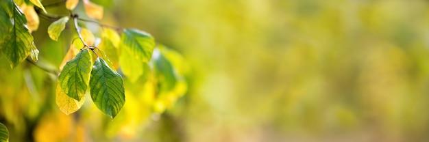 Folhas de faia de outono decoram o belo bokeh de fundo natural, panorama extra amplo. copie o espaço