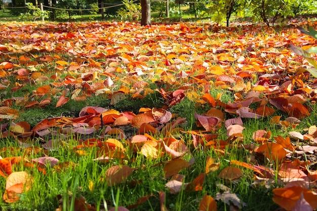 Folhas de faia vermelhas brilhantes com foco seletivo no gramado do jardim botânico
