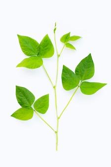 Folhas de feijão alado isoladas na superfície branca