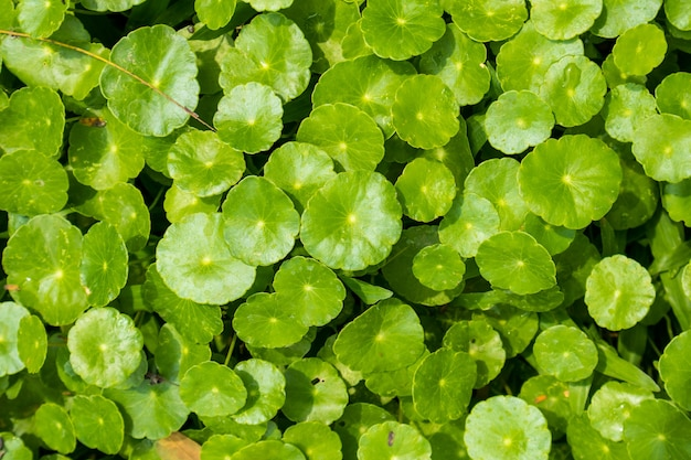 Folhas de fitoterápicos de centella asiatica conhecidas como gotu kola