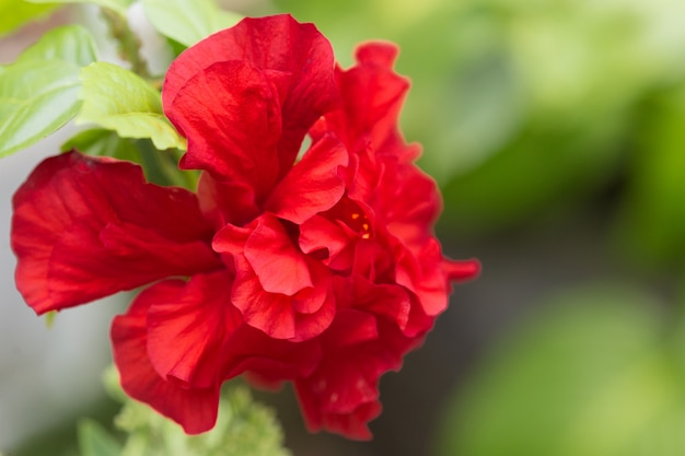 Folhas de flor vermelha flor em um jardim close-up