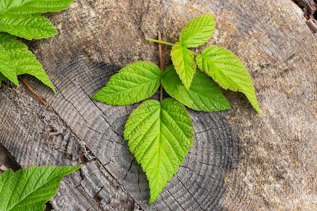 Folhas de framboesa em um fundo escuro de madeira. bagas de framboesa, folhas em um toco de madeira na floresta
