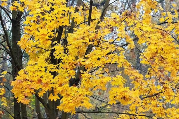 Folhas de fundo de outono com bordo amarelo. árvore de outono