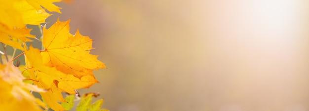 Folhas de fundo de outono com bordo dourado sobre um fundo desfocado claro e espaço livre para texto. panorama
