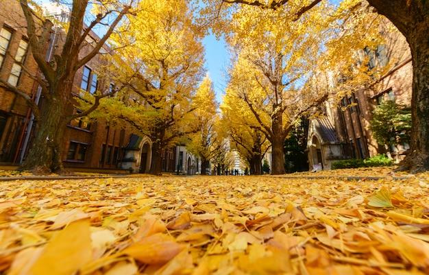 Folhas de ginkgo na estrada, temporada de outono no japão