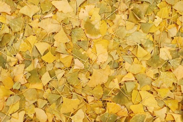 Folhas de ginkgo na primavera coreia