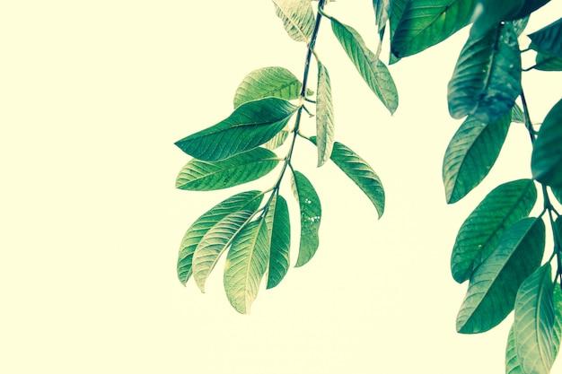 Folhas de goiaba close-up. filtro retrô