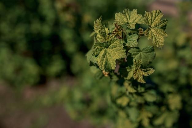 Folhas de grean do corinto preto no fundo verde. folha de groselha preta.