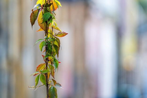 Folhas de hera de outono coloridas em um fundo desfocado de rua da cidade velha