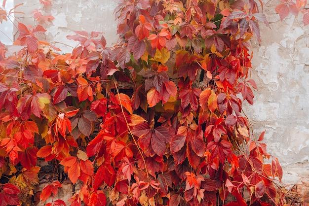 Folhas de hera vermelha na parede