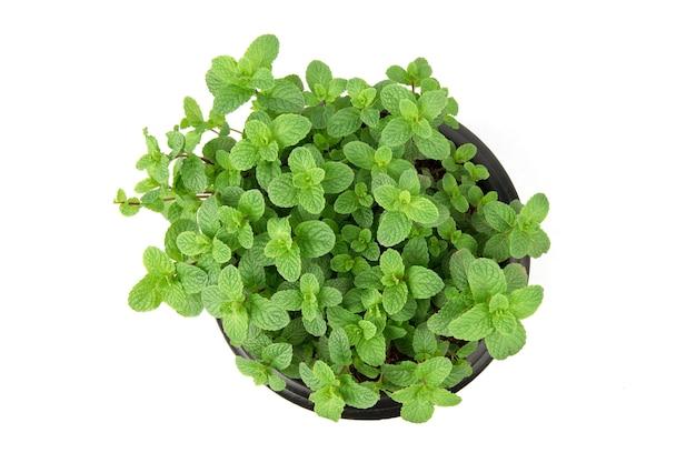 Folhas de hortelã de cozinha ou hortelã verde isoladas em background.top branco vista, plana leigos.