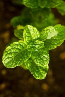 Folhas de hortelã em close-up