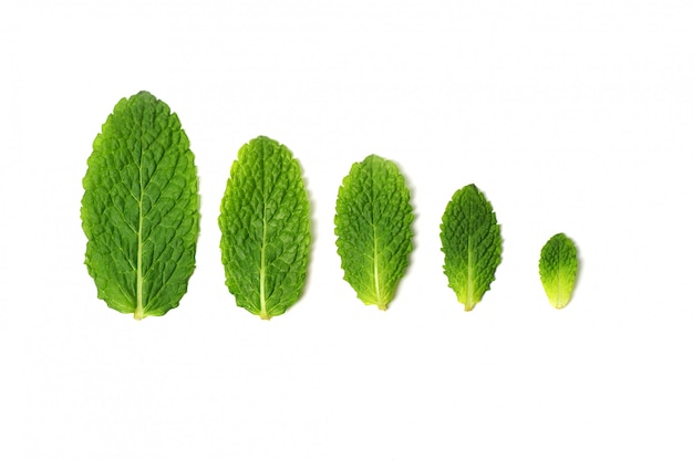 Folhas de hortelã fresca isoladas