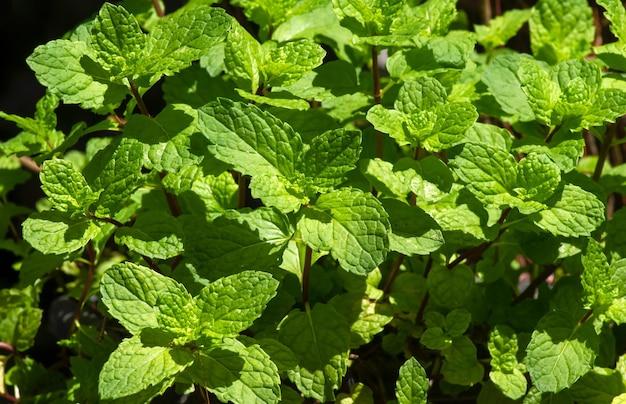Folhas de hortelã (mentha piperita l) crescem no jardim e têm muitos benefícios para a saúde