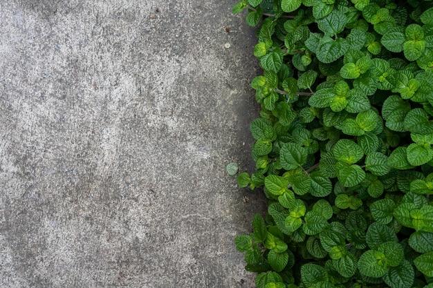 Folhas de hortelã verde em uma horta e chão de rua cinza