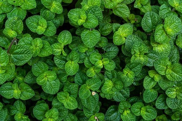 Folhas de hortelã verde em uma horta, folhagem natureza