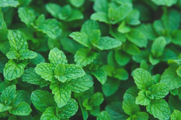 Folhas de hortelã verde. postura plana. natureza