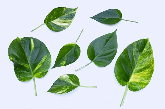 Folhas de ivy do diabo na superfície branca