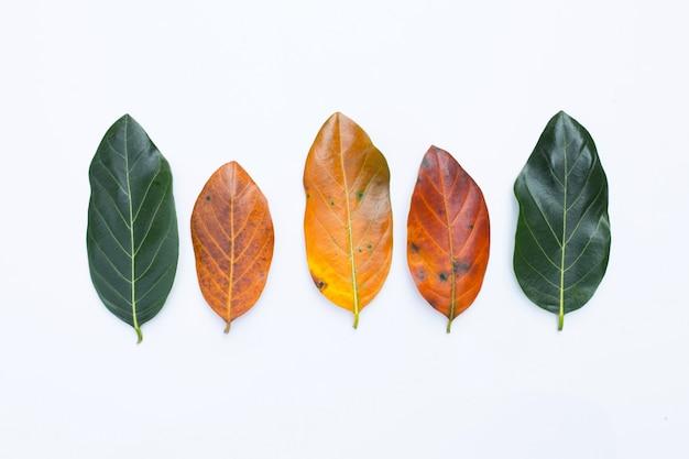 Folhas de jaca em branco.