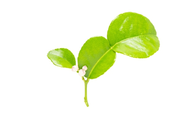 Folhas de limão kaffir isoladas com traçado de recorte.