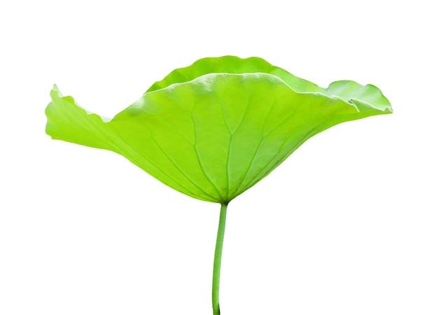 Folhas de lótus isoladas em um fundo branco. arquivo contém com traçado de recorte tão fácil de trabalhar.