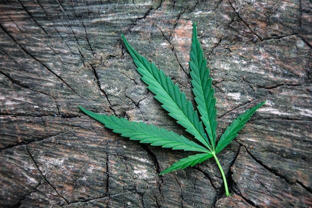 Folhas de maconha em uma mesa de madeira. cânhamo. cannabis. marijuana