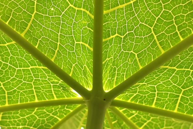 Folhas de mamão com veias detalhadas