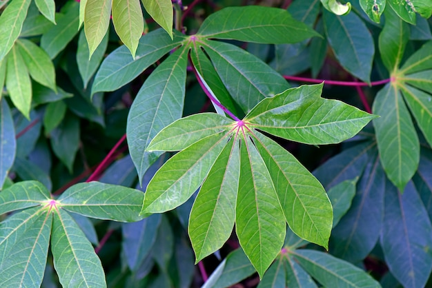 Folhas de mandioca no jardim de casa