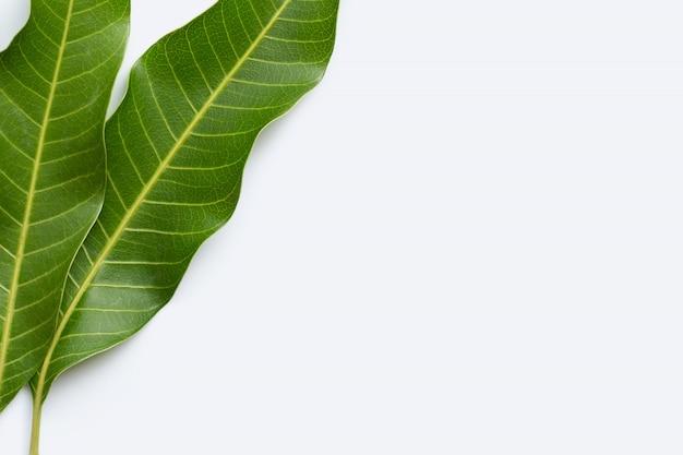 Folhas de manga em fundo branco.