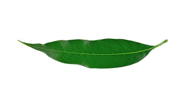 Folhas de manga em um branco