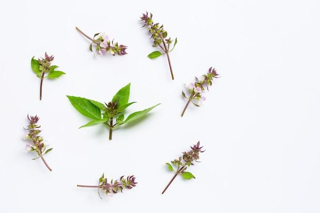 Folhas de manjericão doce com flor em branco