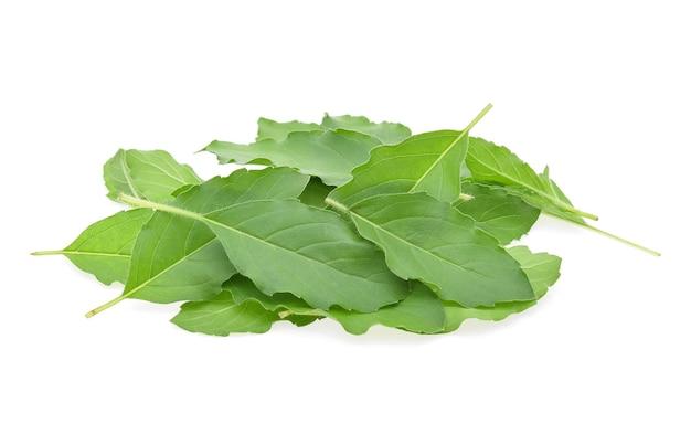 Folhas de manjericão em fundo branco