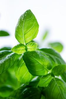 Folhas de manjericão fresco, erva com gotas de água e luz solar